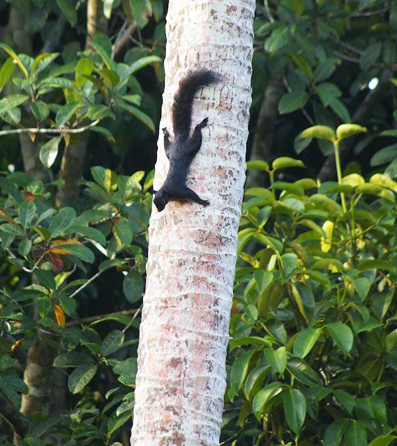 Écureuil dans le jardin à Sukau, 6 août 2011. Photo : J.-M. Gayman