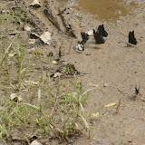 Rassemblement de Papilionidae : Papilio epiphorbas BOISDUVAL, 1833, endémique (le noir) ; Graphium endochus (BOISDUVAL, 1836) (blanc et noir) ; Graphium cyrnus (BOISDUVAL, 1836) (vert). Parc de Mantadia (Madagascar), 29 décembre 2013. Photo : J. Marquet