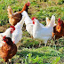Court Sentenced Man To 1 Year Imprisonment For Stealing Chicken