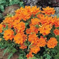 Hoa sao nhai vàng-cam