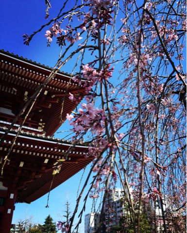 Weeping Cherry Blossoms at Sensoji Temple