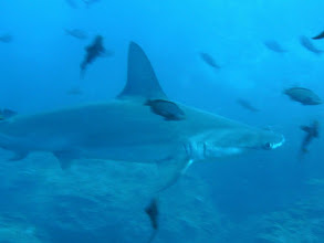 Photo: #021-Requin marteau dans la thermocline. Cocos 2010