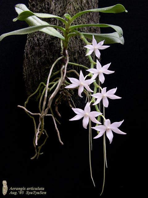 Растения из Тюмени. Краткий обзор Aerangis%252520articulata1