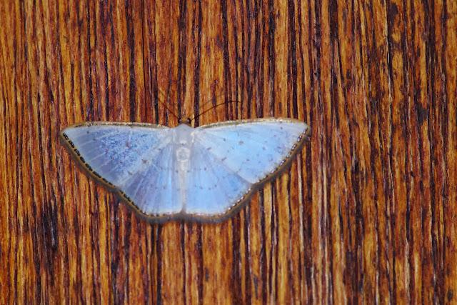 Geometridae : Ennominae : Leuciris fimbriaria (STOLL, 1781). Cabañas Rio Grande, Nangulvi, 1400 m, Intag, (Imbabura, Équateur), 17 novembre 2013. Photo : J.-M. Gayman