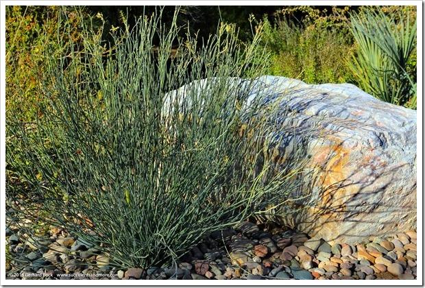 151230_Tucson_Tohono-Chul-Park_0073_Euphorbia-antisyphillica