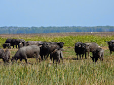 wildlife-water-buffalo-10.jpg