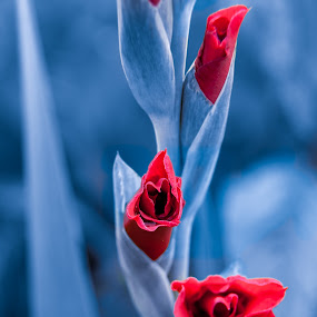 Beating the Blues by Lizzy MacGregor Crongeyer - Flowers Flower Buds ( red, gladioli, nature, blue, blooms, fresh, manipulated, summer, flowers, buds,  )