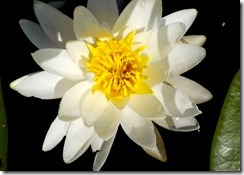 Water Lily up close