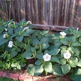 Gardening 2014 - 116_2007.JPG