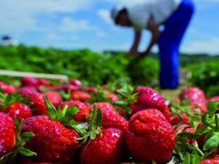 Skikda: Abdelaziz Younes, lauréat du concours du meilleur producteur de fraises