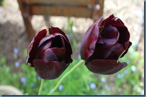 Tulips , deepest purple