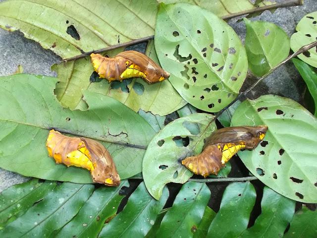 Chrysalides d'Ornithoptera croesus lydius (FELDER, 1865). Halmahera (Moluques, Indonésie), 18 septembre 2013. Photo : Eko Harwanto