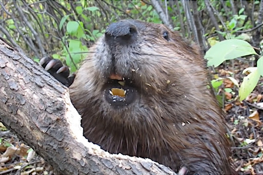 A Fascinating Close-Up Look at How Beavers Gnaw Through Trees