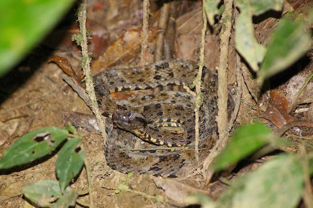 Fer de lance (Bothrops atrox L., 1758) près de Popote. Saül (Guyane), 1er décembre 2011. Photo : J.-M. Gayman