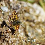 Carterocephalus palaemon (PALLAS, 1771), mâle. Fex Curtins, 2100 m (Engadine, Grisons, CH), 12 juillet 2013. Photo : J.-M. Gayman
