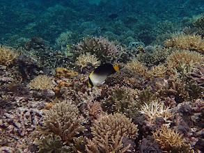 Photo: Chaetodontoplus mesoleucus (Vermiculated Angelfish), Small Lagoon, Miniloc Island, Palawan, Philippines.