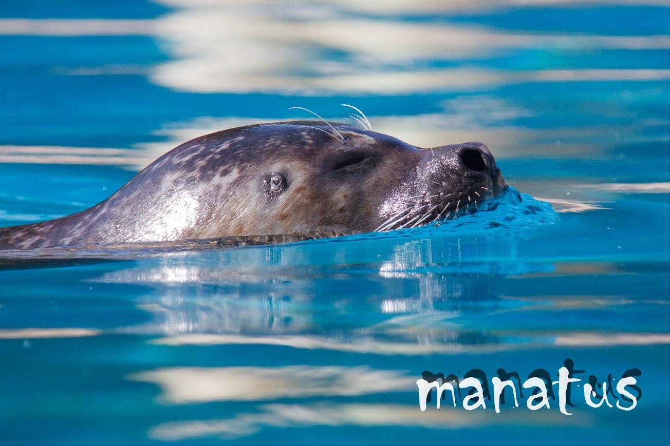 manatus foto blog foca