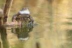 LE CHANT DES SIRÈNES  Les sacs vocaux de la grenouille rousse se situent sous la gorge. Ils amplifient le son en faisant office de caisse de résonance pendant la période des amours
