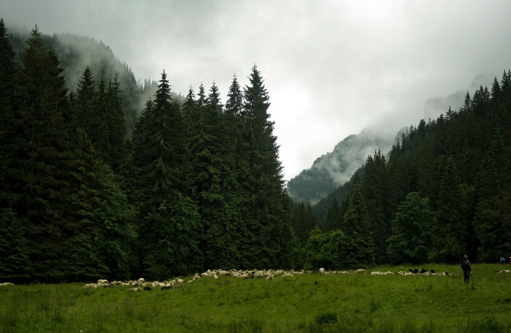 Wypas owiec na polanie Stare Kościeliska