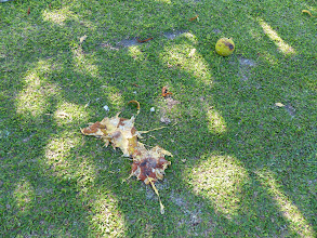 Photo: Breadfruit bomb, or alien invasion?