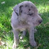 Merle @ 5 weeks