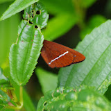 Lymanopoda albocincta HEWITSON, 1861, ssp. Piste de Gualchan à Chical, 1600 m (Carchi, Équateur), 3 décembre 2013. Photo : J.-M. Gayman