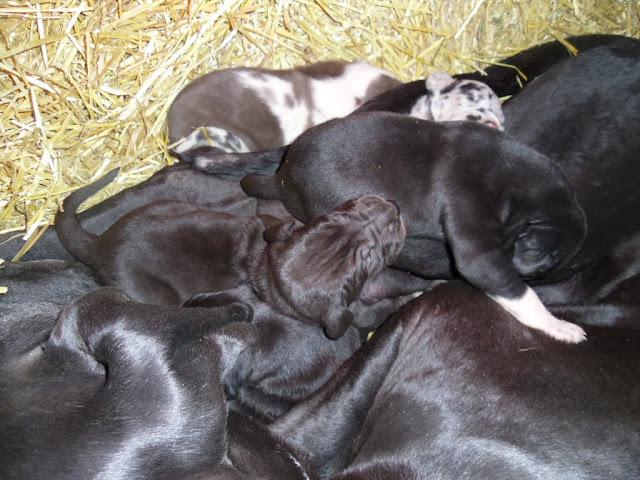 Puppies napping @ 2 weeks:-)