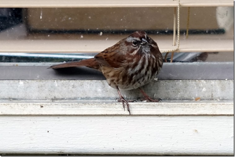 lopez song sparrow 030818 00001
