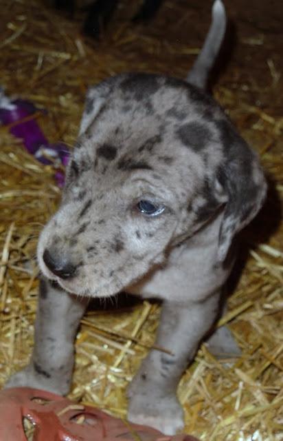 Gretta & Cobalt Blues 3/24/12 litter - SAM_3369.JPG