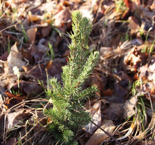 Recently planted spruce seedling.