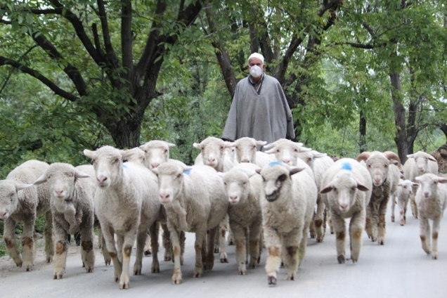 Shepherd walking on road on a sunny day with his flock towards the grazing field.