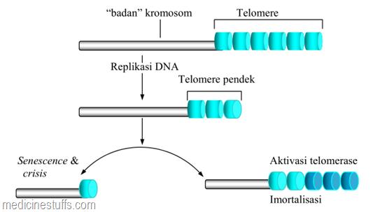 aktivasi-telomerase-mencegah-pemendekan-kromosom