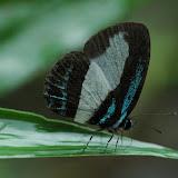 Arfak2007RiodinidaeLycaenidaeHesperiidaeMorphinae