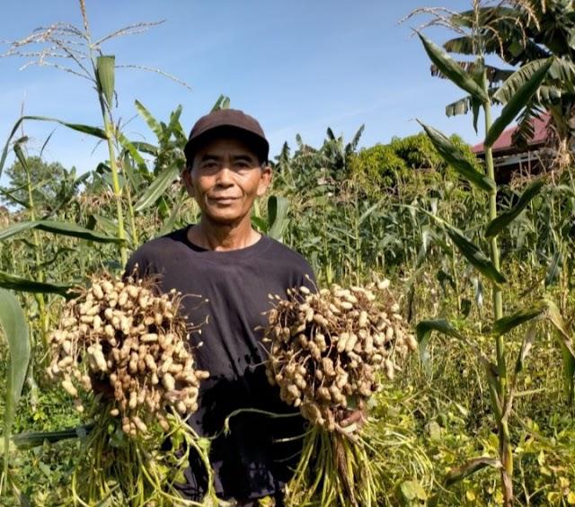 Poktan Bumi Indah Ketapang Panen Kacang Tanah