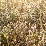 Клевер пашенный (Trifolium arvense)