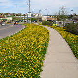 Dandelions along a Peterborough roadside in May