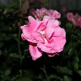 Gardening 2012 - IMG_3090.JPG