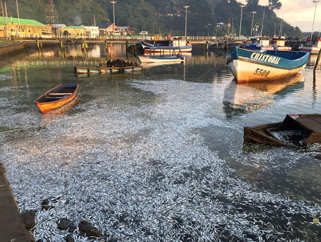 Millions of dead fish float among the docks of Queule, in Chile's Cautín Province, 7 April 2016. Photo: Eugenio Tuma Zedán / Twitter