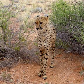 Cheetah, Hammerstein Lodge