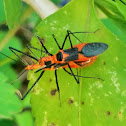 Milkweed Assassin Bug (mating)