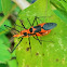 Milkweed Assassin Bug (mating)