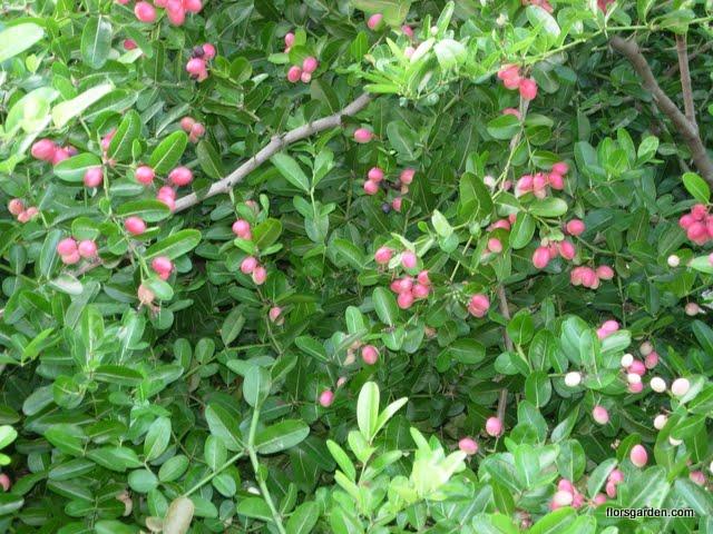 Carissa Plant - DSCN0163.JPG