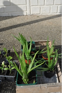 French Village Diaries plant swap life in France gardening