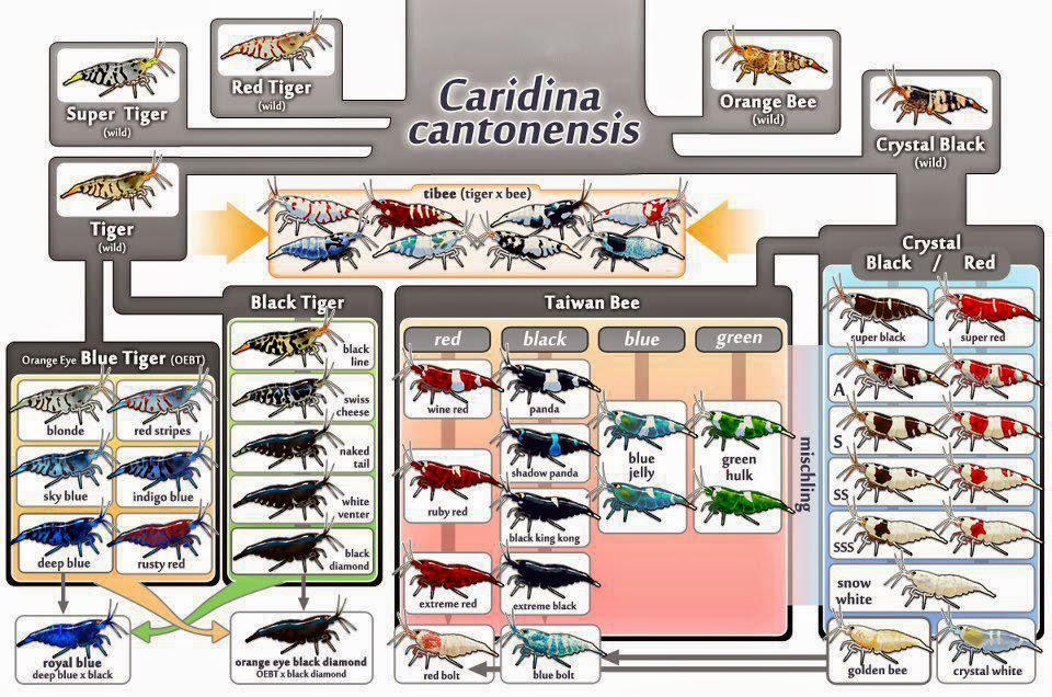 genealogía caridina