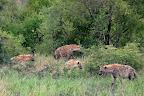 En flok på 6 hyæner var der også - kønne er de ikke!