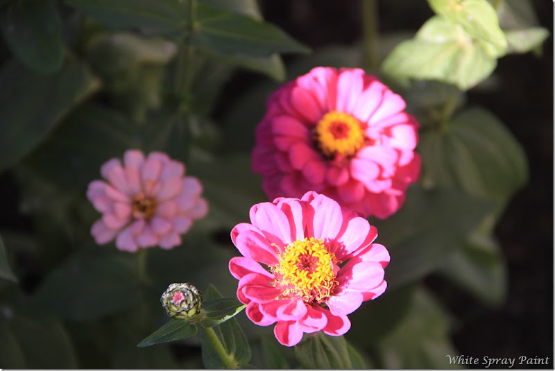 Zinnias Winter 2017