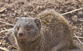 Brown Mongoose, South Africa