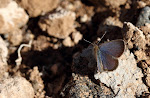Afrikansk græsblåfugl, Zizeeria knysna2.jpg