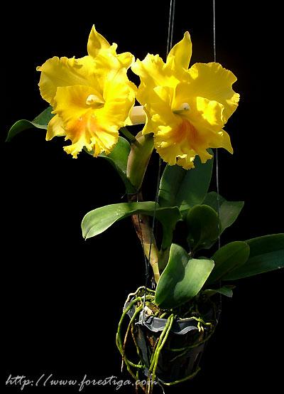 Растения из Тюмени. Краткий обзор - Страница 9 Haadyai_delight