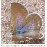 Orachrysops montana HENNING & HENNING, 1994. Photo : http://www.biodiversityexplorer.org/butterflies/lycaenidae/orachrysops.htm
